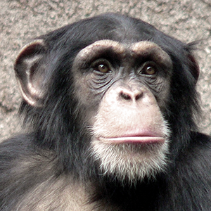 Chimpanzee cropped